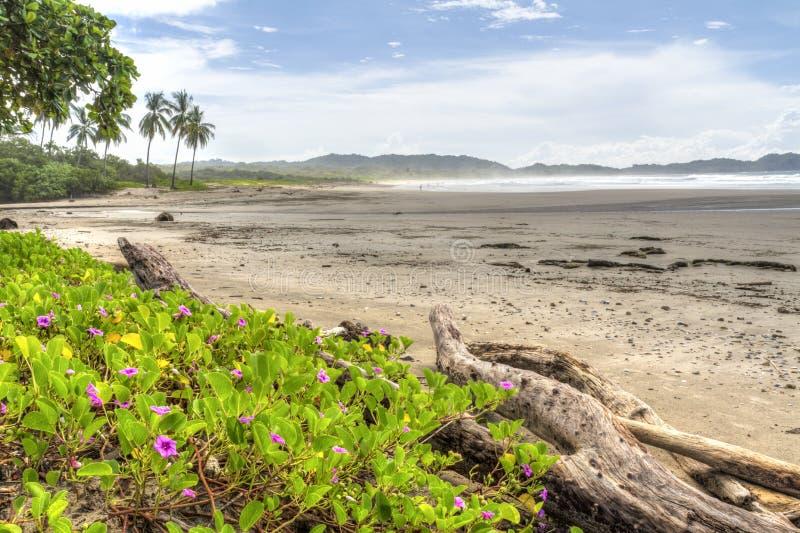 在有薄雾的Playa Guiones的桃红色花 库存图片