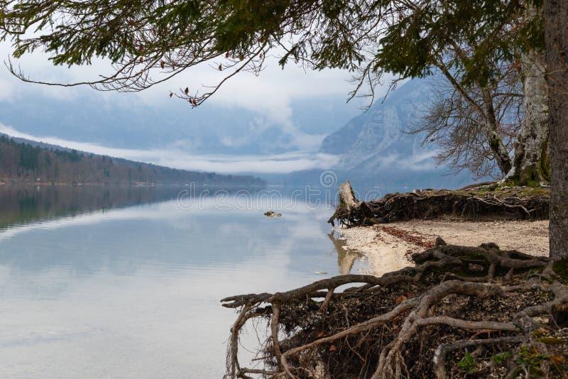在有雾的湖的落叶松属树下 免版税库存图片