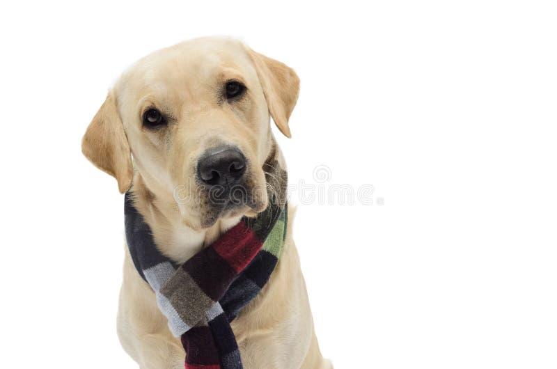 在服装的狗 免版税库存照片