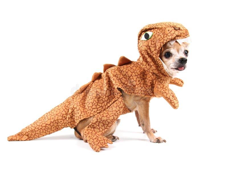 在服装的逗人喜爱的奇瓦瓦狗 免版税库存图片