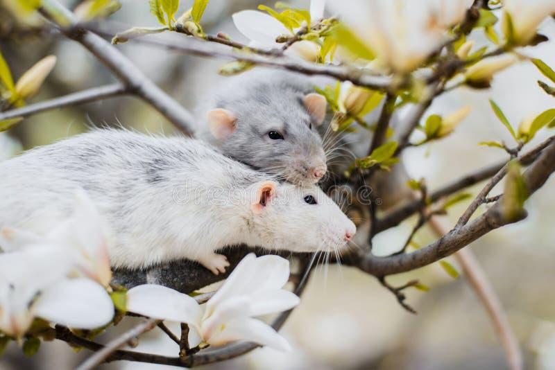 在木兰开花,春节的两只花梢鼠2020年 免版税库存照片