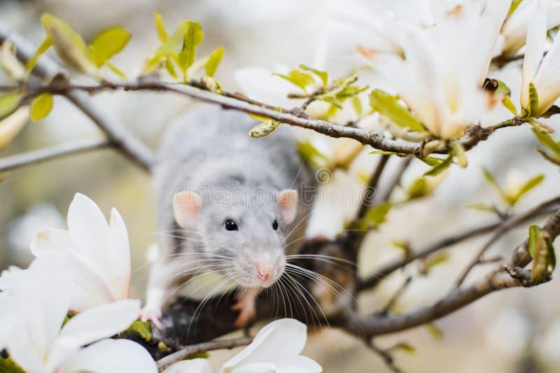 在木兰开花,春节2020年标志的花梢鼠 库存图片