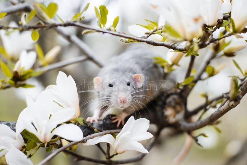 在木兰开花,春节2020年标志的花梢鼠 免版税库存图片