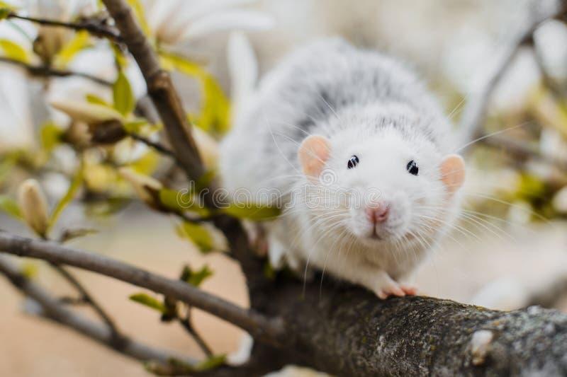 在木兰开花,春节2020年标志的花梢鼠 库存照片