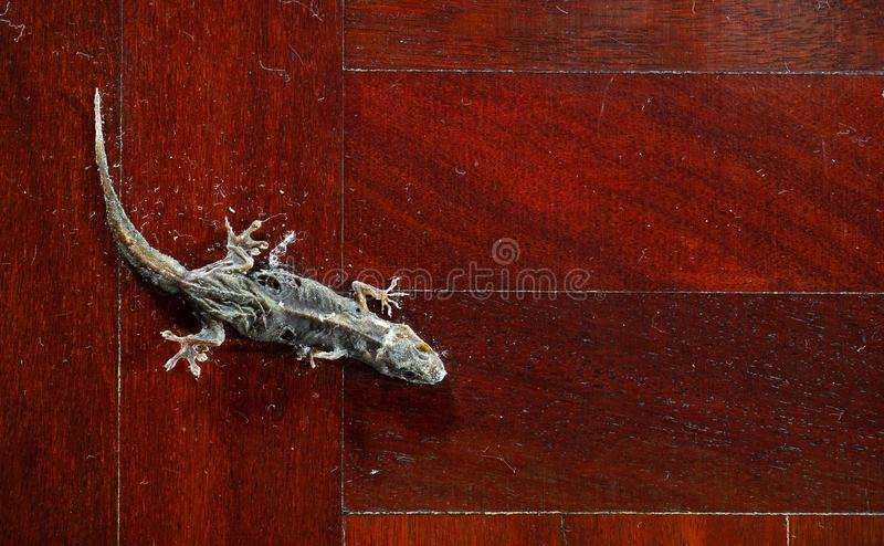 在木地板上的干共同的议院壁虎 免版税库存照片