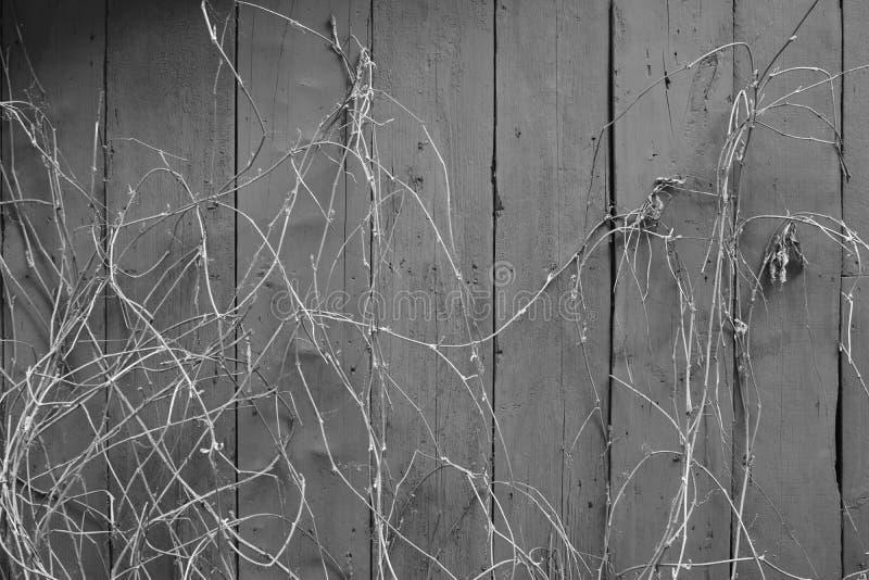在木墙壁上的上升的词根 免版税库存图片