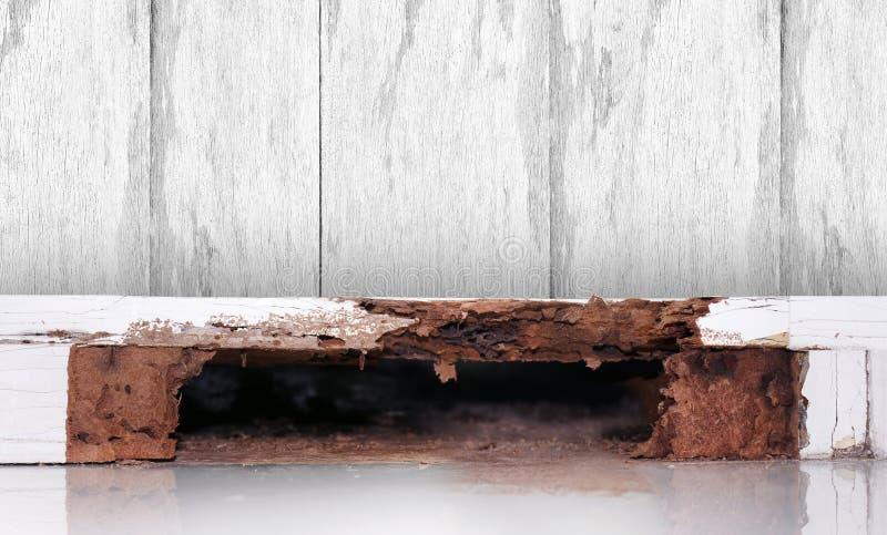 在木墙壁,在木朽烂,巢白蚁,白蚁,背景背景的巢白蚁的白蚁巢损坏了白色木 免版税图库摄影