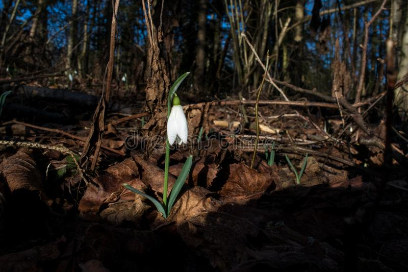 在木头的早期的snowdrop在冬天 免版税库存图片