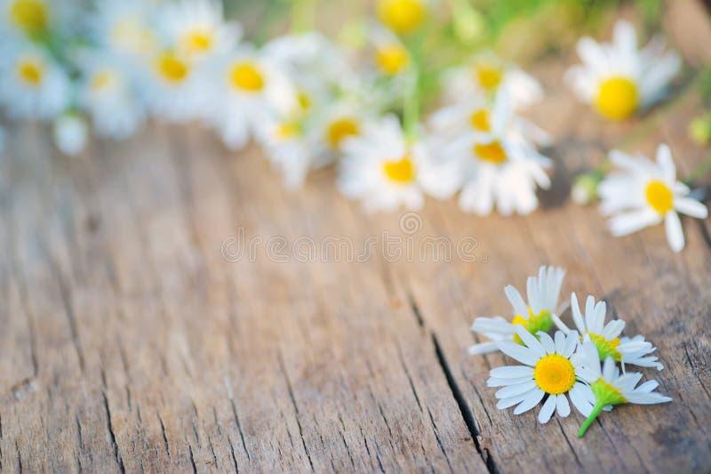 在木头的春黄菊花 免版税库存照片