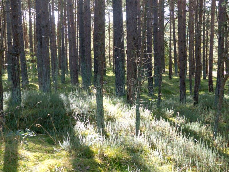 在木头的荒地,石南花森林森林分支树关闭特写镜头光黎明大树枝treeebranches太阳 免版税图库摄影