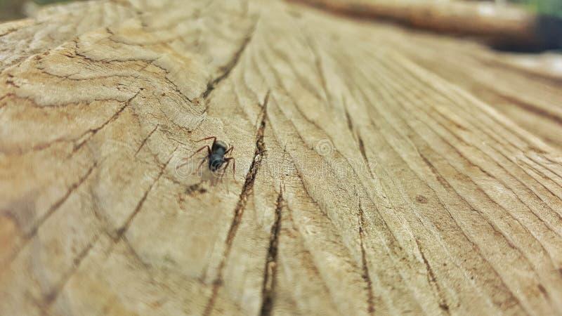 在木头的蚂蚁 库存照片