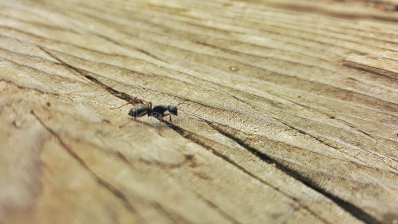 在木头的蚂蚁 免版税库存图片