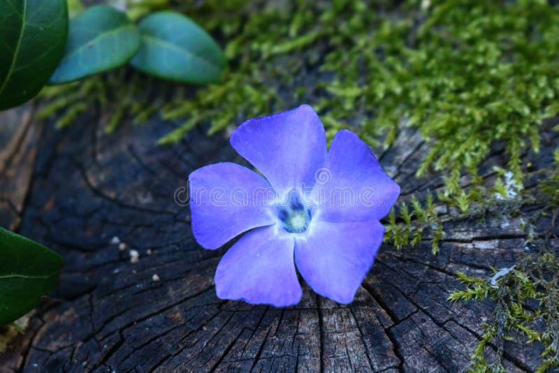 在木头的被隔绝的紫色花与绿色叶子! 免版税库存图片