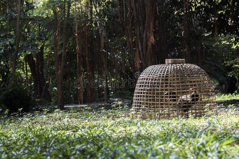 在木小屋的鸡 动物和自然概念 好斗的公鸡或雄斗鸡题材 在草地的一只雄斗鸡 库存照片