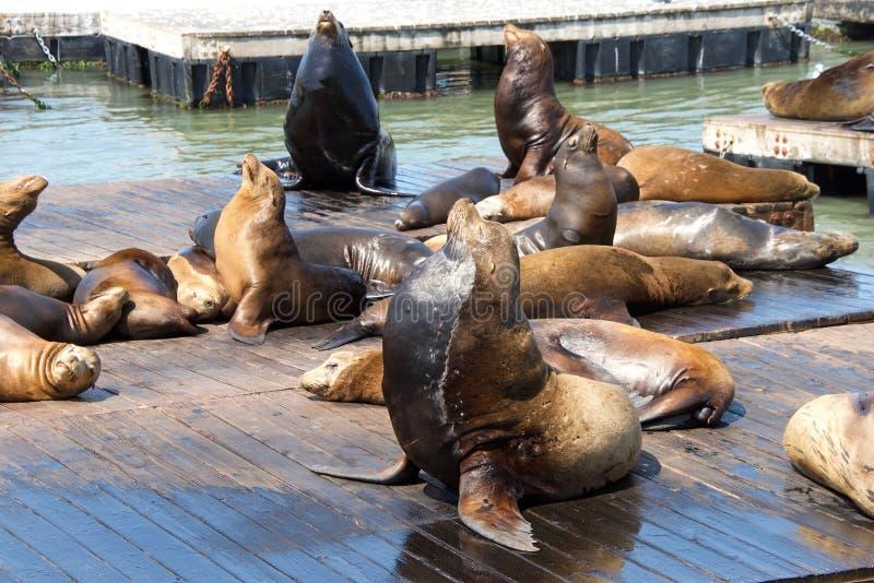 在木平台拖拉的海狮 图库摄影