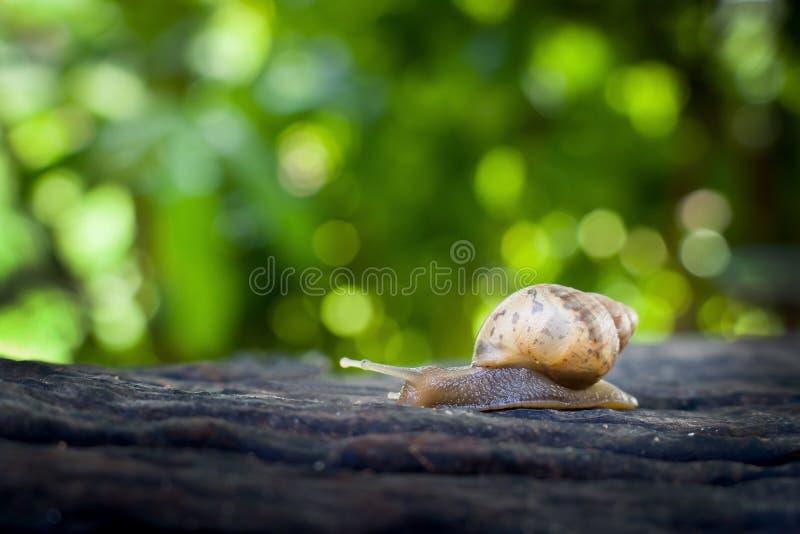 在木日志被弄脏的背景的蜗牛 免版税库存照片