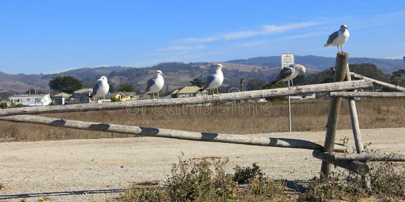 在木栅栏的海鸥 免版税库存图片