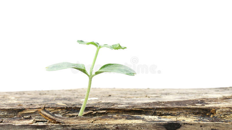 Download 在木桌上的生长植物 库存图片. 图片 包括有 工厂, 期初的, 发展, 本质, 春天, 季节, 新芽, 生长 - 62535829