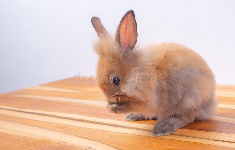 在木桌上的逗人喜爱的矮小的棕色兔宝宝或兔子逗留有白色背景 免版税图库摄影