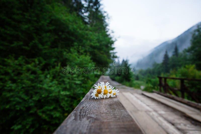 在木桥的春黄菊花束 库存照片