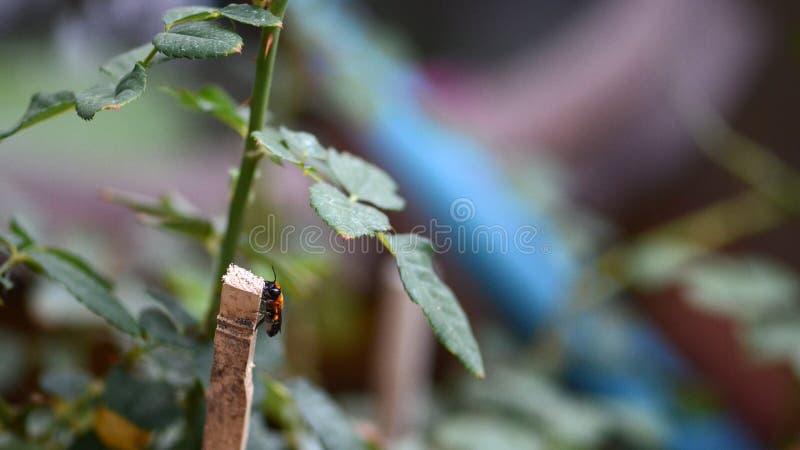 在木棍子的臭虫在庭院里 库存图片