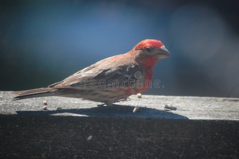 在木甲板路轨的阳光下栖息的美丽的野生室内燕雀 库存照片