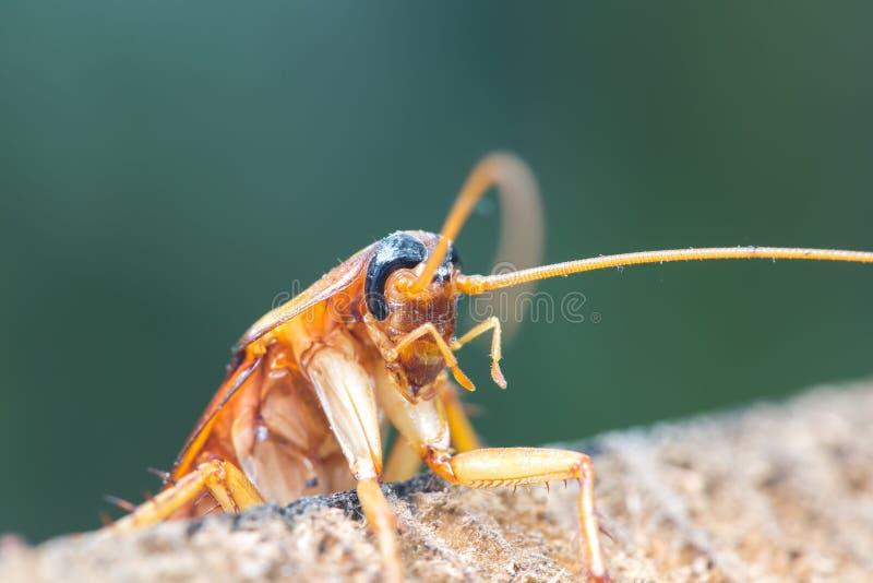 在木的蟑螂,自然弄脏了背景 免版税库存图片