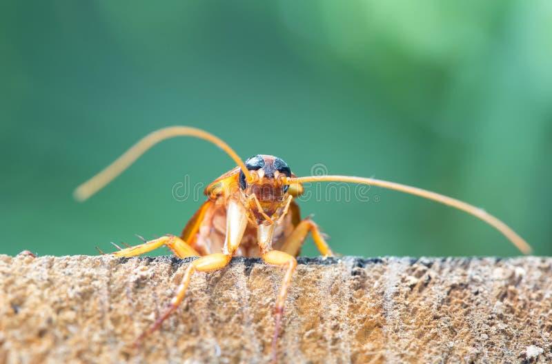 在木的蟑螂,自然弄脏了背景 免版税图库摄影