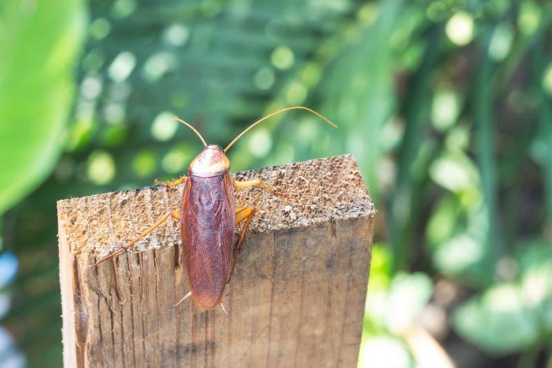 在木的蟑螂,自然弄脏了背景 库存照片