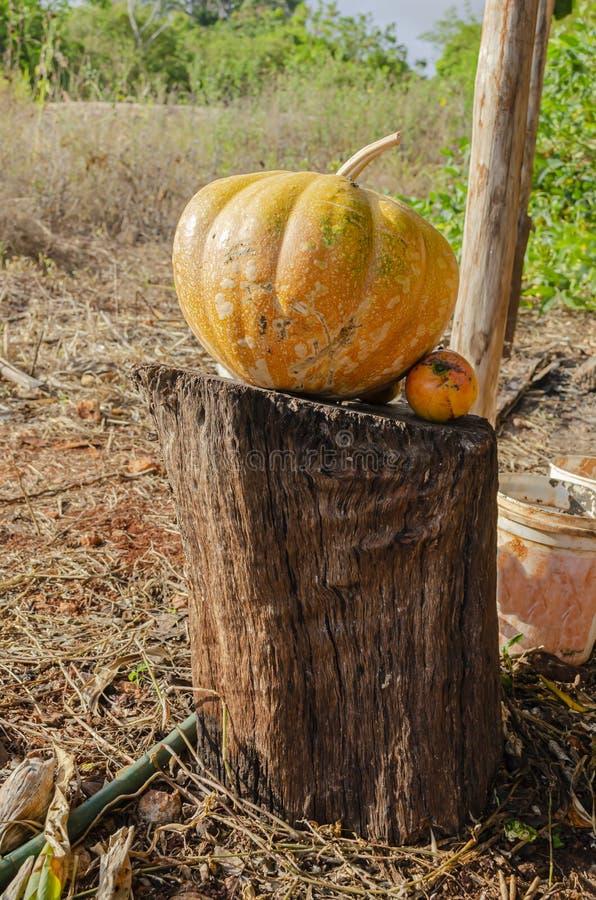 在木立场的黄色成熟南瓜 免版税图库摄影