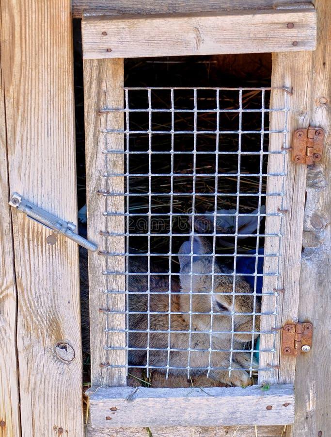 在木笼子的小灰色兔子 图库摄影