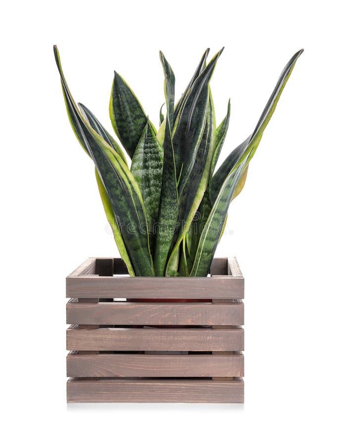 在木箱的美好的百合科植物在白色背景 库存照片