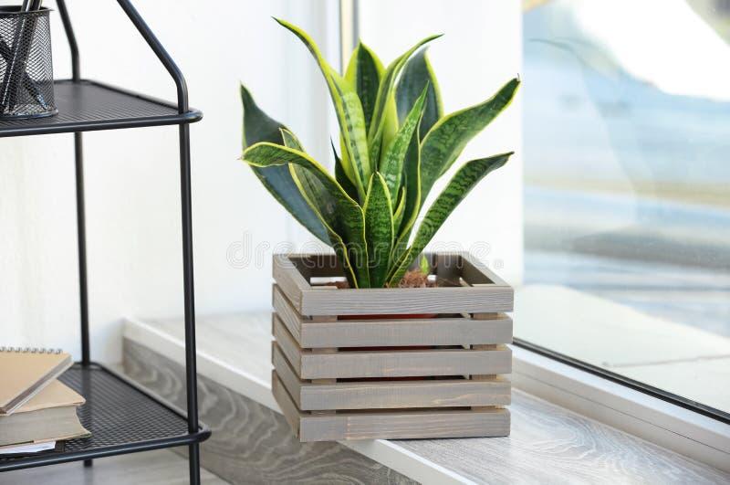 在木箱的美好的百合科植物在窗台 库存图片