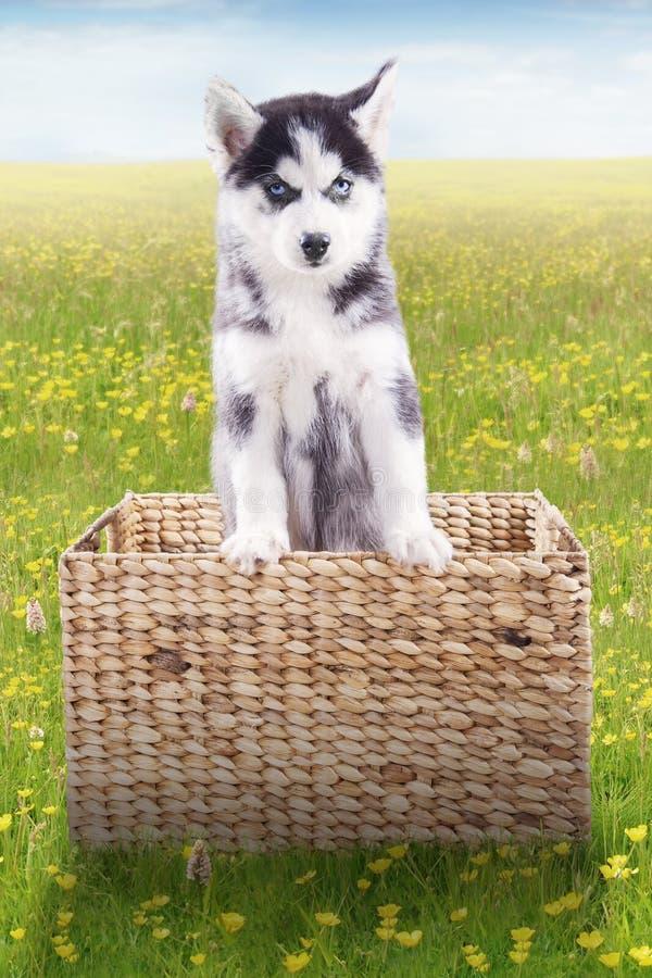在木篮子里面的多壳的狗在草甸 库存照片