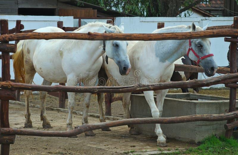 在木篱芭后的白马 免版税库存照片