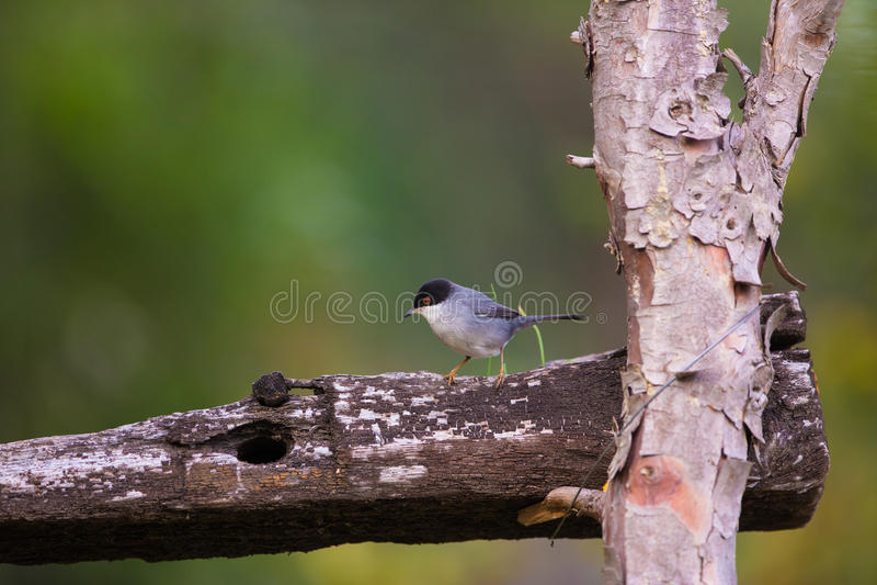 在木篱芭的公撒丁岛鸣鸟 库存图片