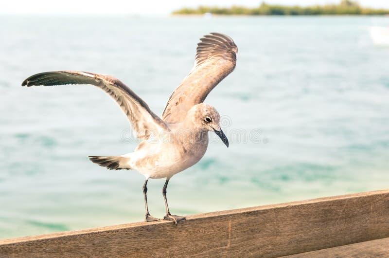 在木篱芭的海鸥着陆在基韦斯特岛码头-迈阿密Flori 免版税库存照片