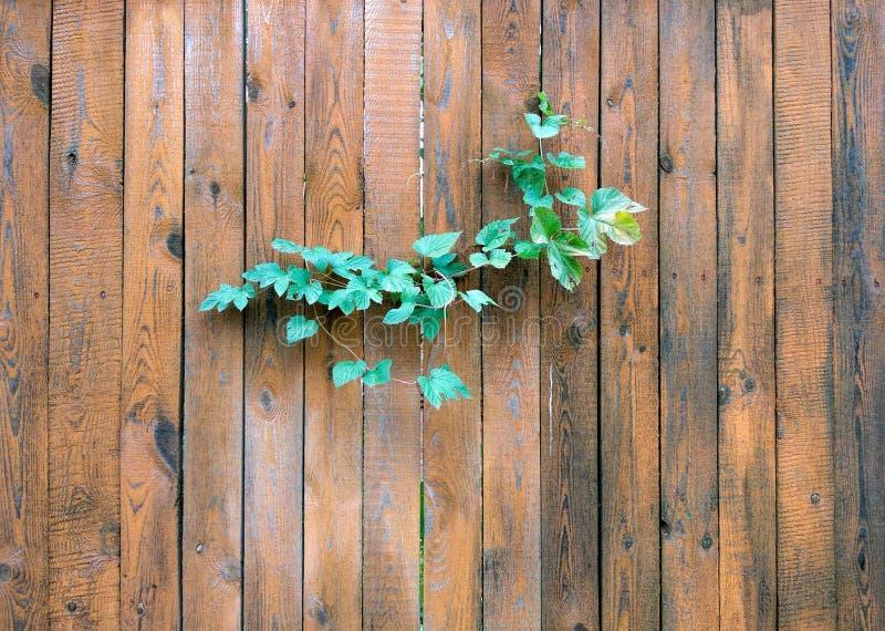 在木篱芭的狂放的葡萄 库存图片