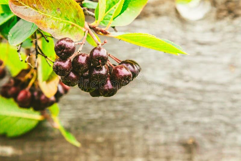在木背景的堂梨属灌木 库存照片