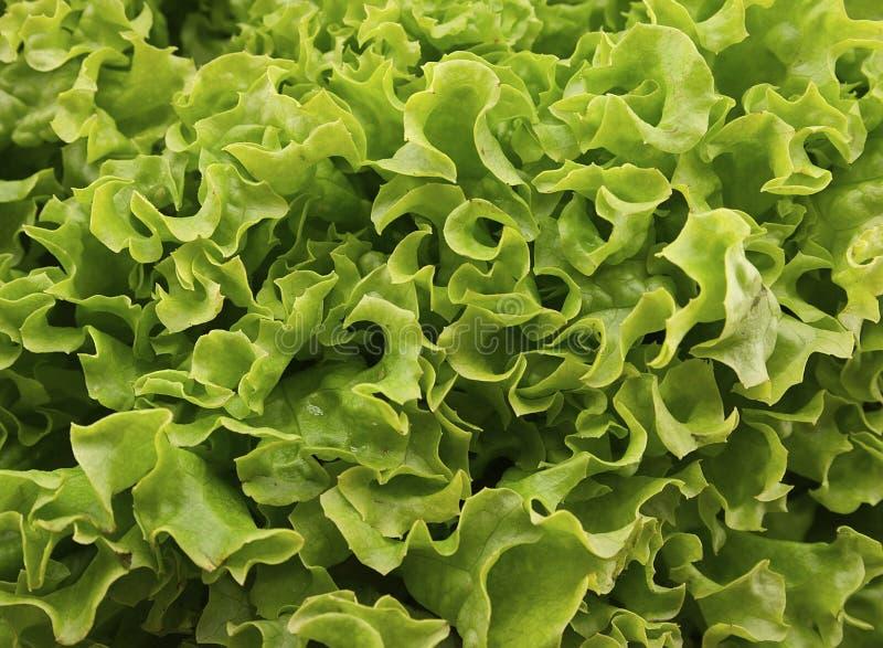 在木背景的新绿色莴苣salat 健康的食物 库存照片