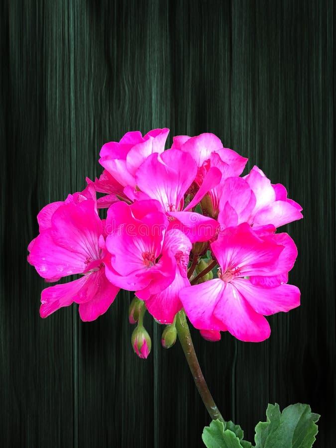 在木背景的桃红色大竺葵花群 免版税库存图片