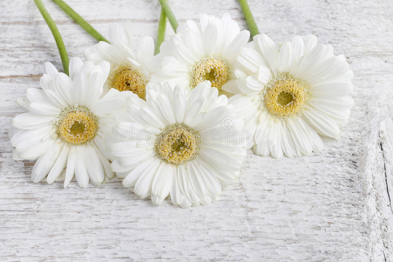 在木背景的白色大丁草雏菊 库存照片