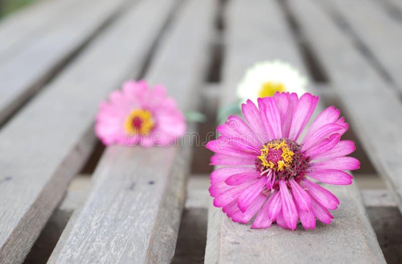 在木背景的百日菊属花 免版税图库摄影
