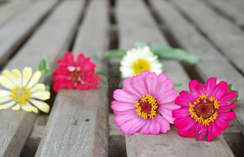 在木背景的百日菊属花 免版税库存图片