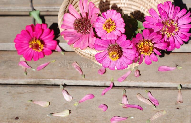 在木背景的百日菊属花 库存图片