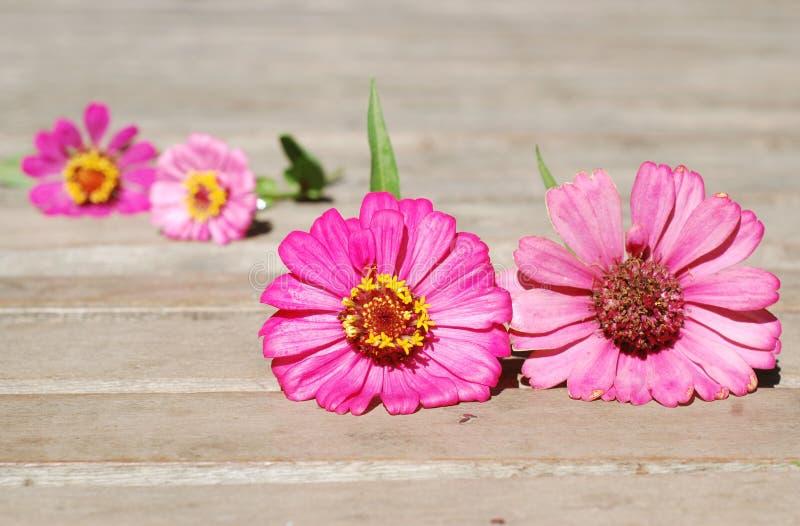 在木背景的百日菊属花 免版税库存照片