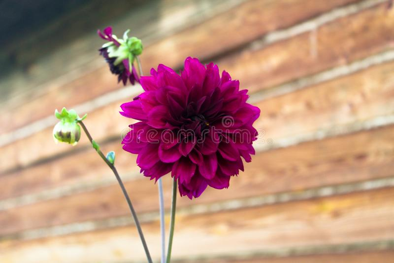 在木背景的紫色大丽花花 库存图片
