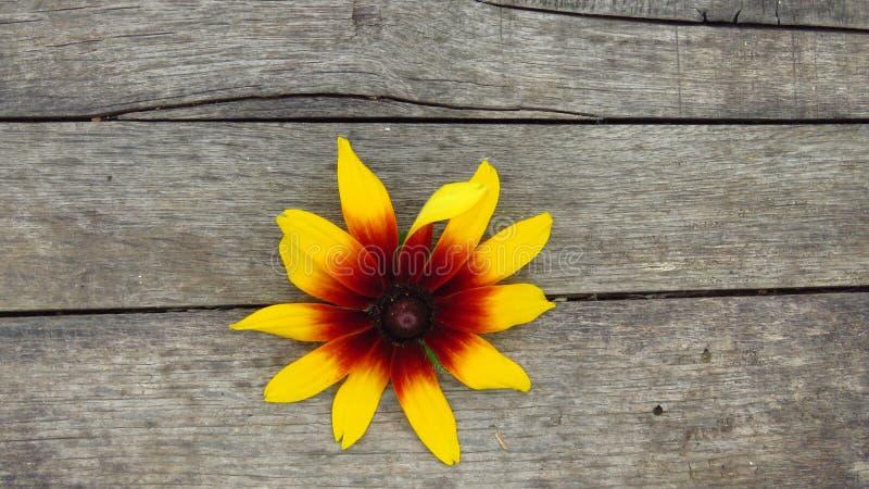 在木背景的美丽的黄色花 免版税库存照片