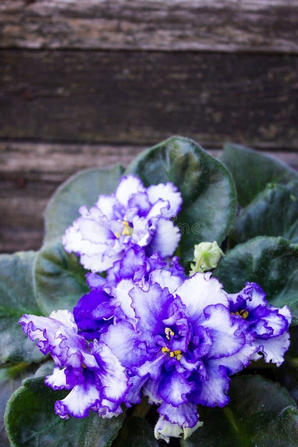 在木背景的蓝色紫罗兰色花 免版税图库摄影