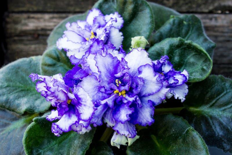 在木背景的蓝色紫罗兰色花 免版税库存图片